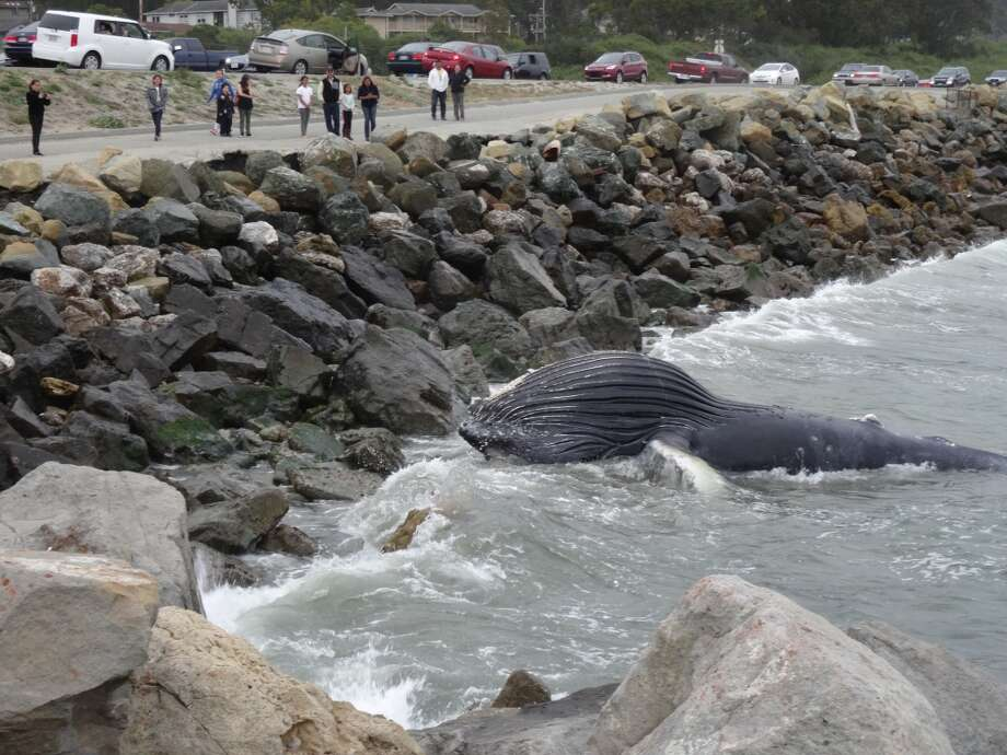Crowds gather near Half Moon Bay to marvel at a dead Humpback whale. (Photo courtesy carolsuestories.com)