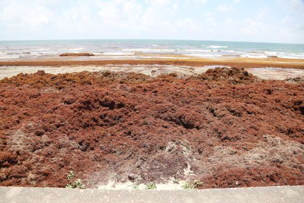 Galveston officials are scrambling after mounds of seaweed appeared on the beach leading into the Memorial Day weekend. Photo: James Nielsen / Houston Chronicle