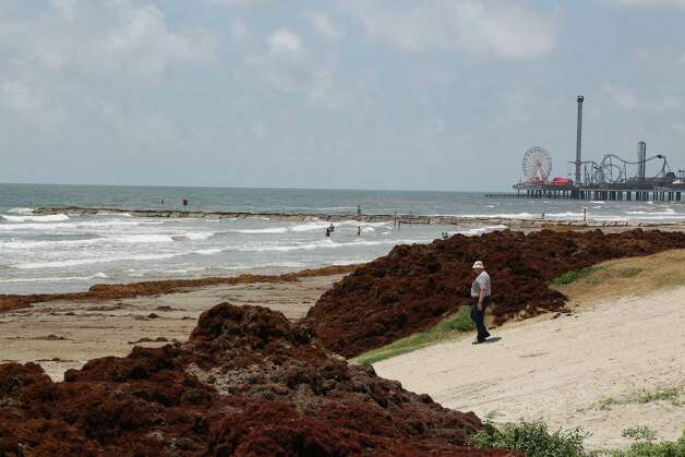 Galveston officials are scrambling after a mass of seaweed washed ashore leading into the Memorial Day weekend. Photo: James Nielsen / Houston Chronicle