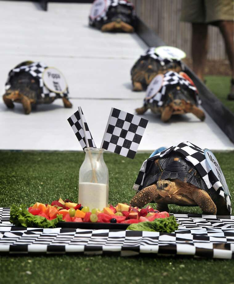 Did they pour the milk over his shell? Marco plows across the finish line and into a plate of fresh fruit after leaving four other radiated tortoises in his dust in the Indianapolis Zoo's annual Zoopolis race. Photo: Charlie Nye, Associated Press