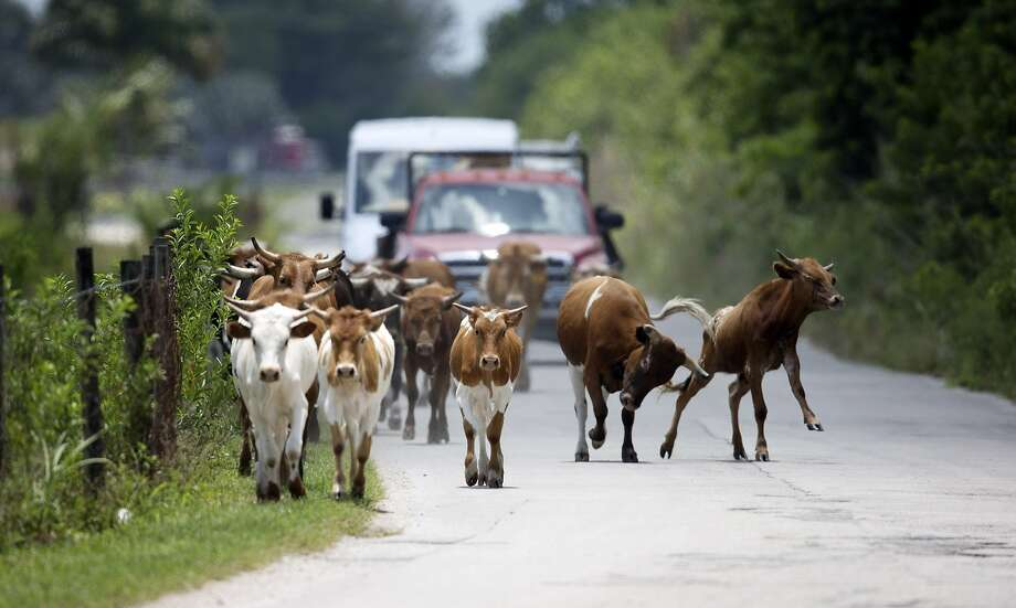 Instead of cowboys on horseback, trucks drive cattle from one field to another on a farm west of Miami. Lack of rain has caused grass to grow much slower in Florida, forcing farmers to change pastures more frequently. Photo: J Pat Carter, Associated Press
