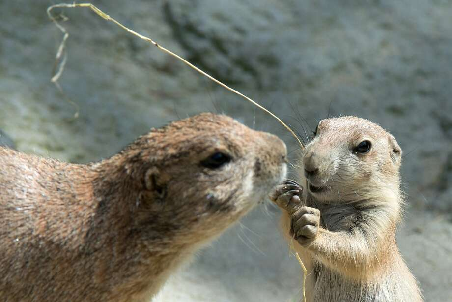 The dead grass is delish: A prairie dog parent checks on her pup, who's found something to gnaw on at the Hanover Zoo in Germany. Photo: Jochen Luebke, Associated Press