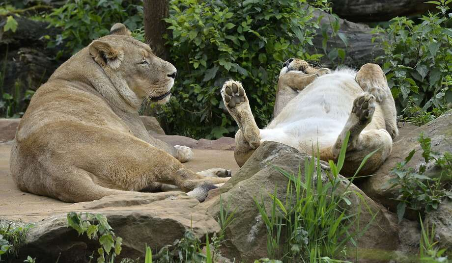 Forget it. Nobody's going to give you a belly rub no matter how much you show off your stomach. Because then we'd have to eat him: Petting-deprived lions at the zoo in Gelsenkirchen, Germany. Photo: Martin Meissner, Associated Press