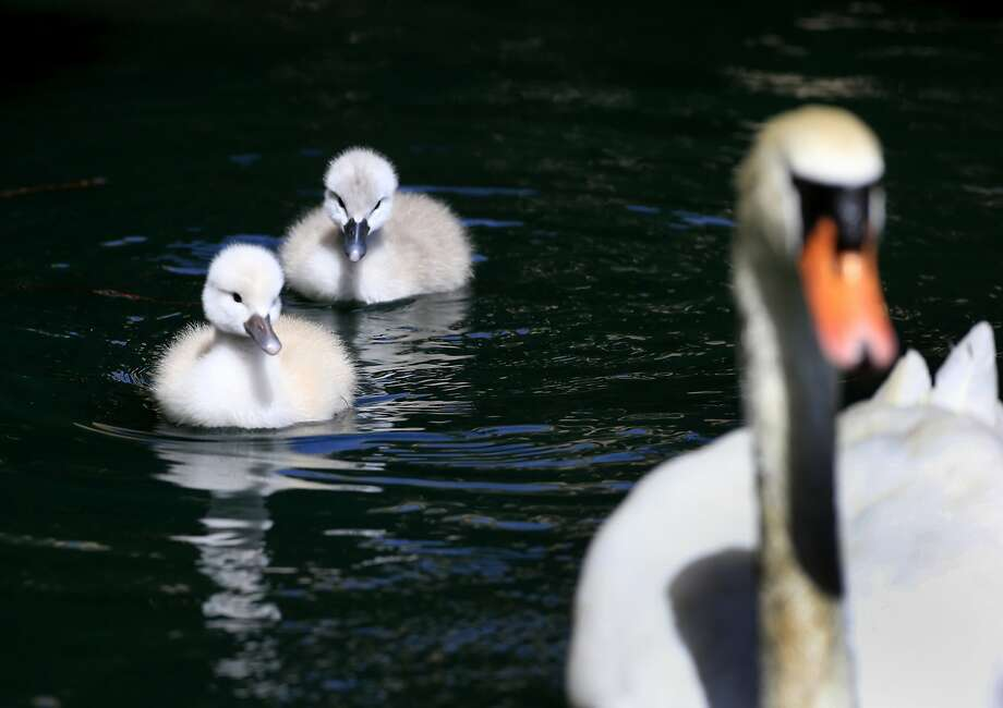 The two baby swans swim at the Palace of Fine Arts on Monday. They had hatched less than a week ago. Photo: Brant Ward, The Chronicle
