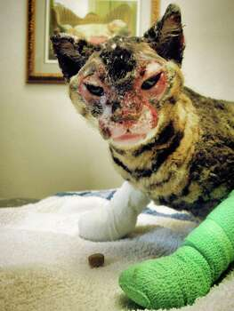 Phoenix the cat was found in a nearby townhouse garage suffering from severe burns, Montrose Vets report she is recovering well but will need surgery on her eye lids. Photo: Montrose Veterinary Clinic