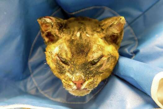 Phoenix the cat was found in a nearby townhouse garage suffering from severe burns, Montrose Vets report she is recovering well but will need surgery on her eye lids. Photo: Jason Cordes, Montrose Veterinary Clinic / Copyright: (c) 2014 Jason Cordes _ All rights reserved