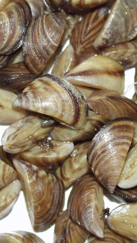 Zebra mussels are a highly invasive mollusk that cause enormous environmental and economic damage. They have been found in Lake Texoma in recent years and wildlife officials are trying to stop their spread. photo provided by Texas Parks and Wildlife / Beaumont