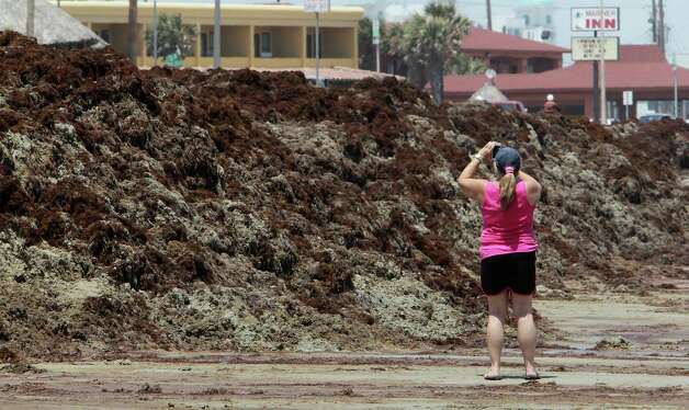 A woman takes a photograph of mounds of seaweed on the beach Thursday, May 22, 2014, in Galveston. Photo: James Nielsen, Houston Chronicle / © 2014  Houston Chronicle