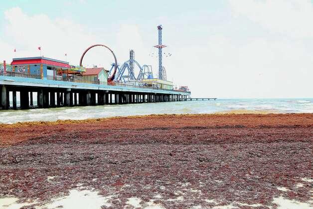 Seaweed mounds on the beach near 25th street next to the Galveston Island Historic Pleasure Pier Thursday, May 22, 2014, in Galveston. Photo: James Nielsen, Houston Chronicle / © 2014  Houston Chronicle
