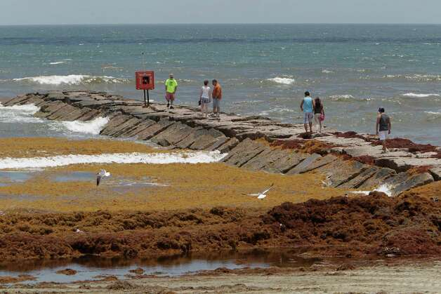 A beach visitors walk on the 24th street rock groin as mounds of seaweed build up Thursday, May 22, 2014, in Galveston. Photo: James Nielsen, Houston Chronicle / © 2014  Houston Chronicle