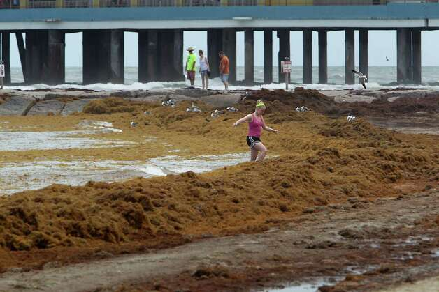 A beach visitor walks over a mound of seaweed on the beach near 24th street Thursday, May 22, 2014, in Galveston. Photo: James Nielsen, Houston Chronicle / © 2014  Houston Chronicle