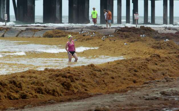A beach visitor walks in the surf near mounds of seaweed on the beach near 24th street Thursday, May 22, 2014, in Galveston. Photo: James Nielsen, Houston Chronicle / © 2014  Houston Chronicle