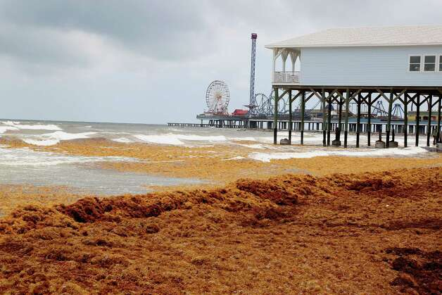 Mounds of seaweed build up on the beach near 21st street Thursday, May 22, 2014, in Galveston. Photo: James Nielsen, Houston Chronicle / © 2014  Houston Chronicle