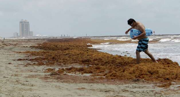 Homar Villatoro walks over a mound of seaweed on the beach near 19th street Thursday, May 22, 2014, in Galveston. Photo: James Nielsen, Houston Chronicle / © 2014  Houston Chronicle