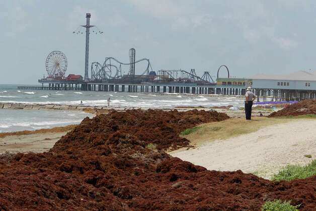 Bill Smith looks out over of mounds of seaweed on the beach near 19th street Thursday, May 22, 2014, in Galveston. Photo: James Nielsen, Houston Chronicle / © 2014  Houston Chronicle