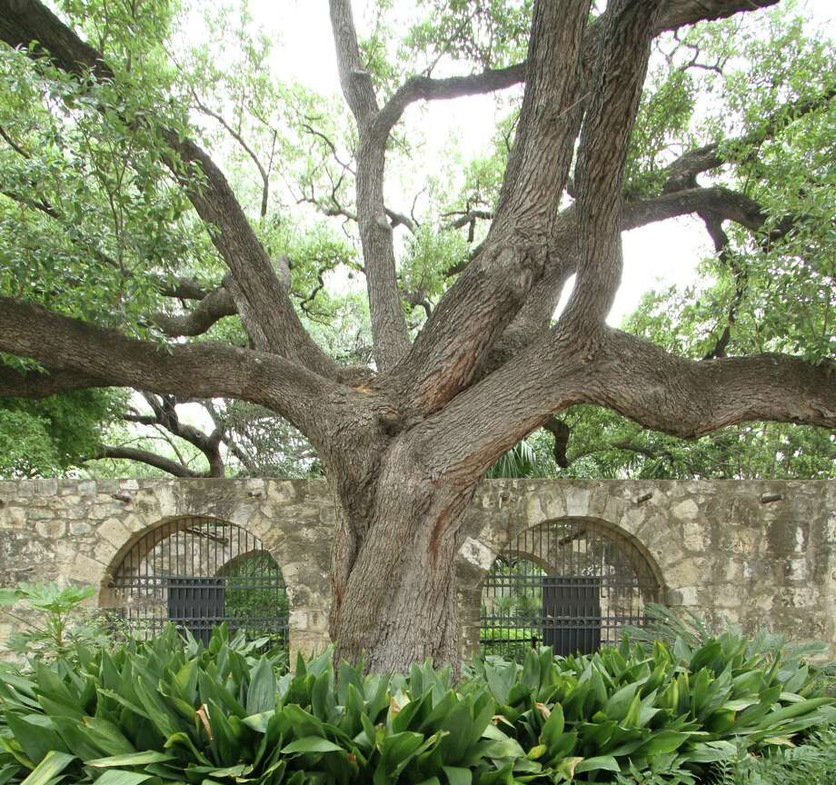 The gardens around the Alamo host beautiful specimens of live oaks like the one shown here, pecans and other native trees. Photo: Forrest M. Mims III / For The Express-News / ALL RIGHTS RESERVED.