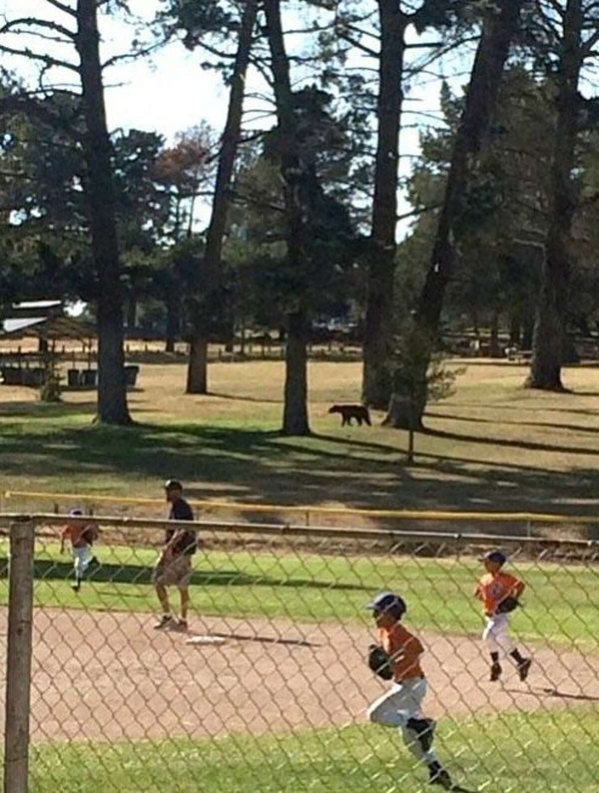 Little Leaguers run off the field when a bear wandered behind the fence at a community park in the town of Nipomo, located near Pismo Beach in San Luis Obispo County. Game wardens said the rare sighting was likely as result of the drought where hungry wildlife are entering towns to try to find something to eat.