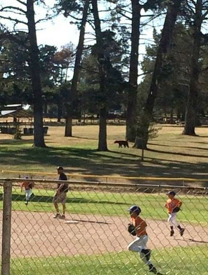 Little Leaguers abandon the field after a bear wandered into Nipomo (San Luis Obispo County). Game wardens said the drought probably brought the wildlife to town looking for food. Photo: Jen Philson