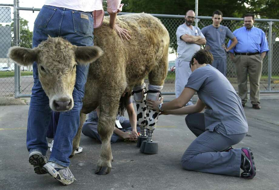 Hero, a 600-pound English Charolais, was an abandoned calf rescued from a Virginia farm a year ago. His back hooves had to be amputated because of frostbite. Photo: Photos By Pat Sullivan / Associated Press / AP