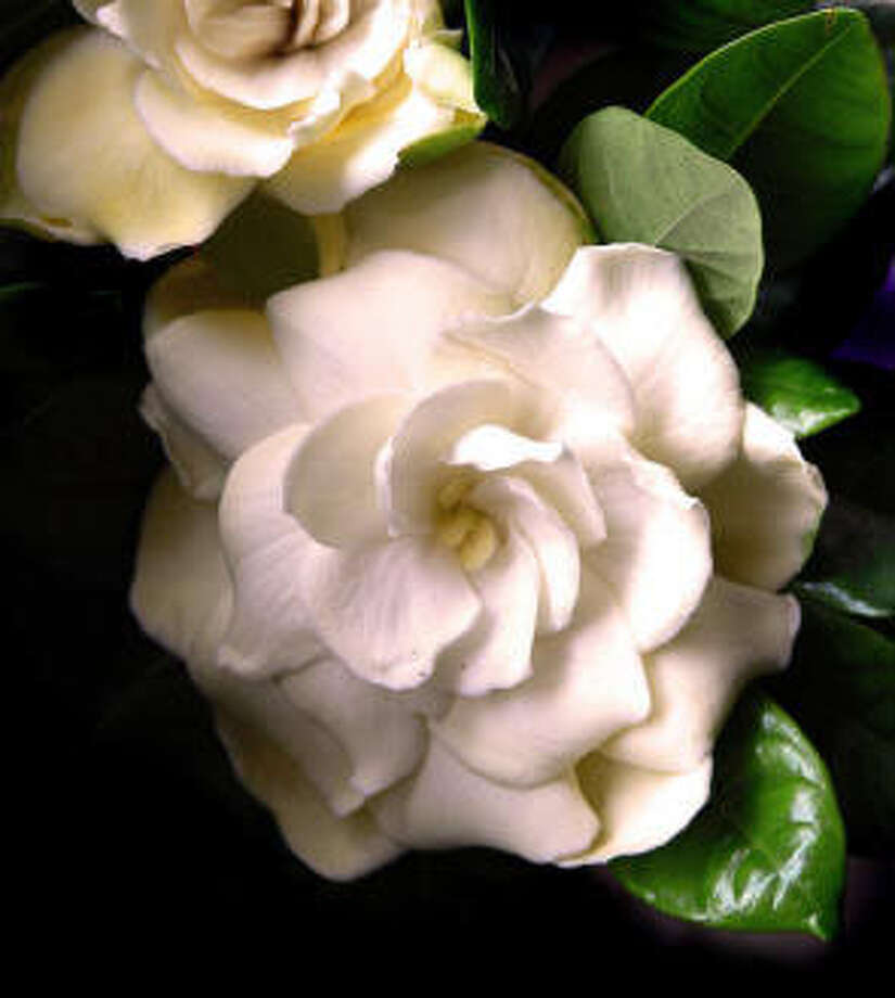 Gardenias fill the May garden with fragrance. Metrogirl photo / handout Email