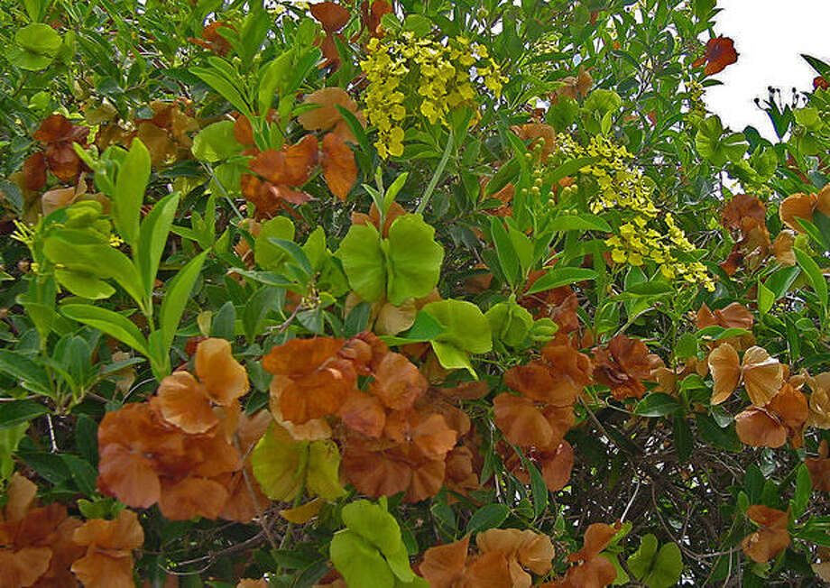 Butterfly vine has yellow flowers and gets its name from the butterfly-shaped seed pods that start out chartreuse and turn tan. Photo: Courtesy PlantAnswers.com