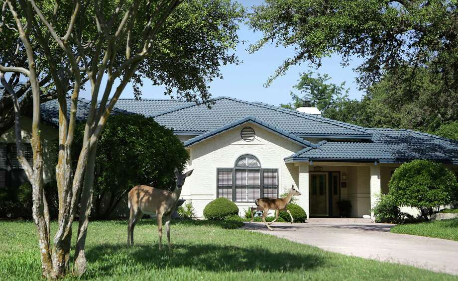 Deer enjoy the shade in the front yard of the home of Ann and George Berg. Photo: BOB OWEN, San Antonio Express-News / © 2012 San Antonio Express-News