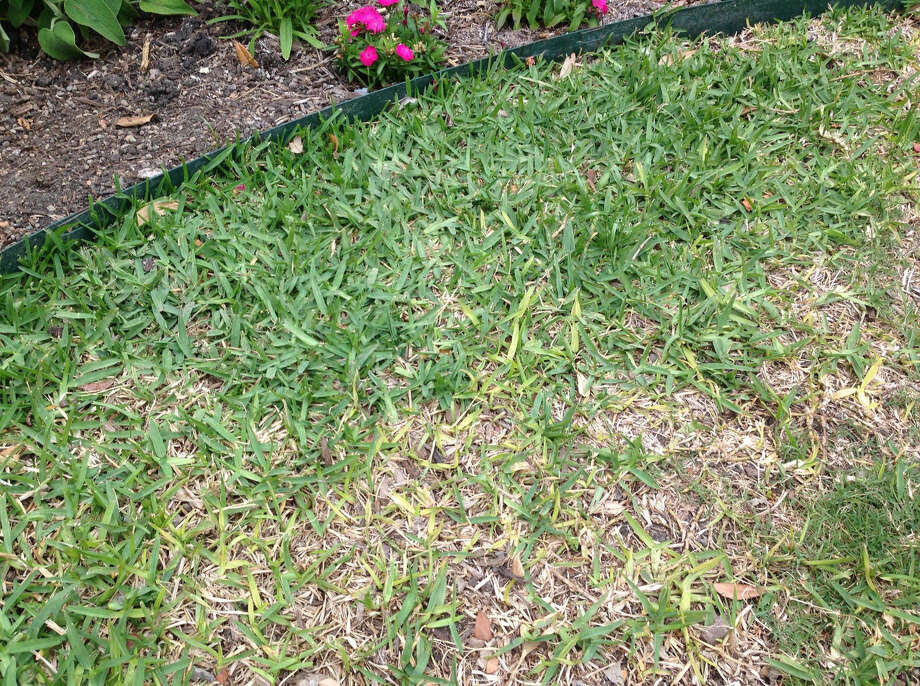 Take All Root Rot affects lawns in patches. Spaghnum moss discourages development of the root rot fungus. Photo: Courtesy Photo