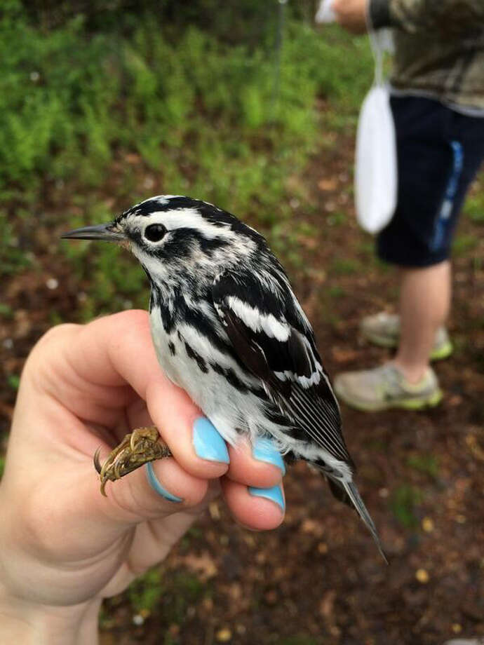 This black-and-white warbler was captured at the Birdcraft Sanctuary bird banding station in Fairfield, Conn. Photo is by Jill Mahar, who is also holding the bird. This species overwinters in Mexico, Central America, Columbia, Ecuador and Venezuela, and it could be heading as far north as Hudson Bay. Photo: Contributed Photo / Connecticut Post Contributed