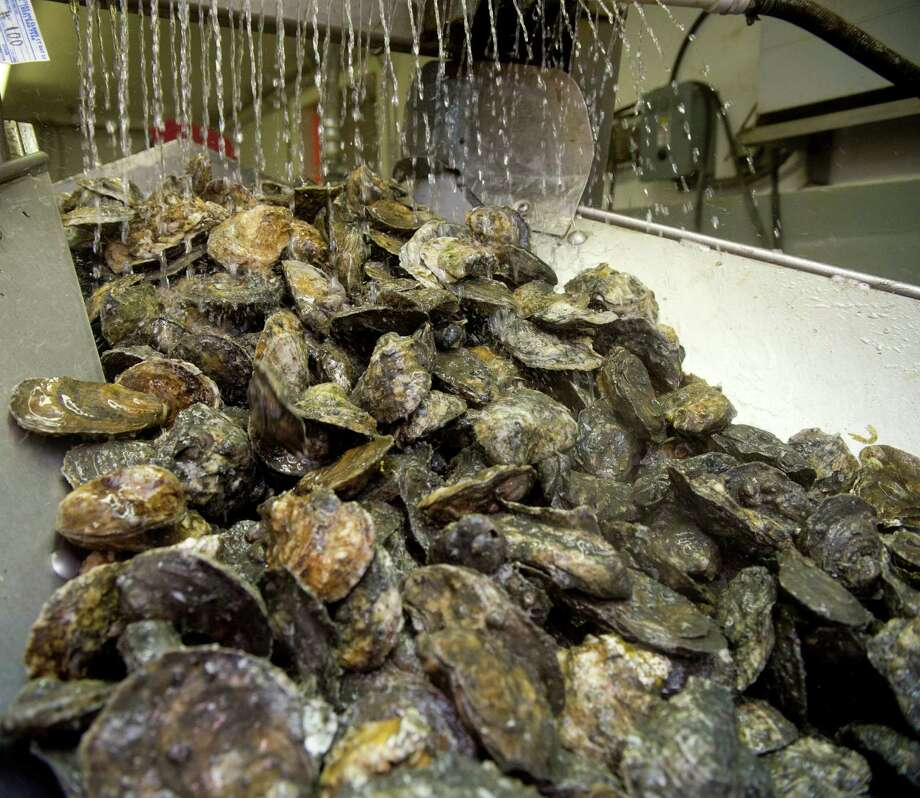 Oysters are rinsed on a conveyor belt at Norm Bloom and Son in Norwalk, Conn., on Friday, May 17, 2013. To avoid a repeat of last summer's health scare, the state will require oysterman to cool off their oysters soon after harvesting them. Photo: Lindsay Perry, File Photo / Stamford Advocate