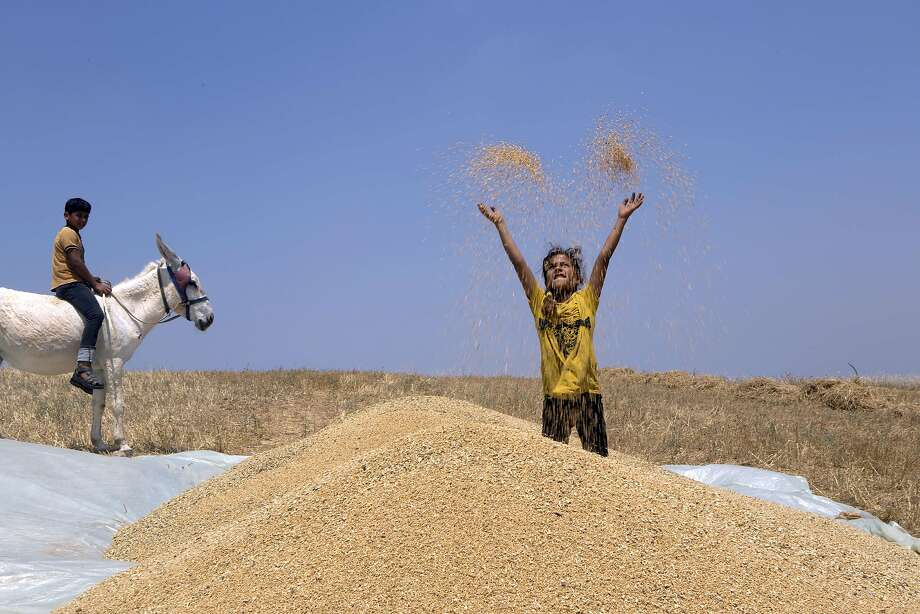Grain levitator: A Palestinian girl tosses threshed wheat into the air during harvest in Beit Hanun, close to the border with Israel in the northern Gaza Strip. Photo: Mohammed Abed, AFP/Getty Images