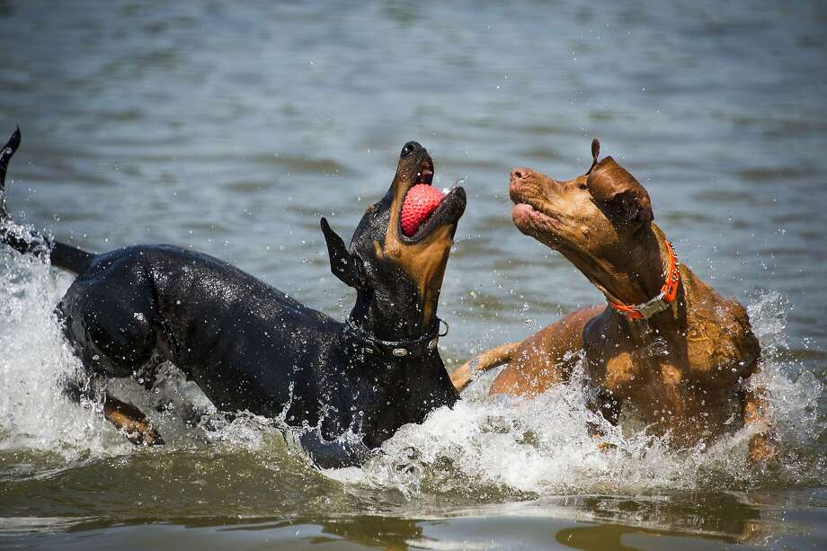 Pinscher maneuver: A Doberman wins the battle for the ball in the shallows of Gruenewald Lake in Berlin. Photo: Odd Andersen, AFP/Getty Images
