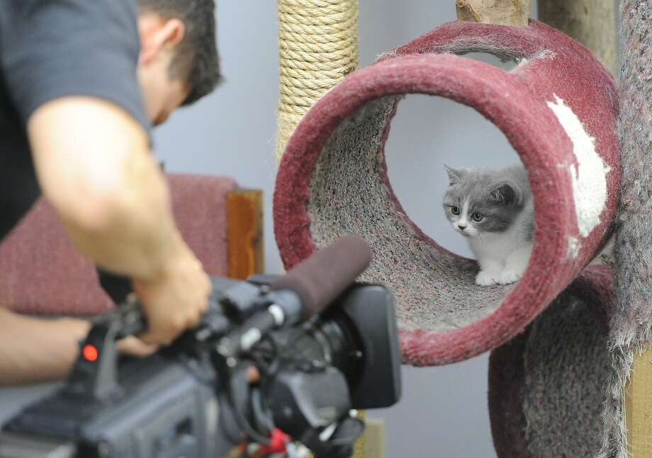 """I'm ready for my close-up, Mr. DeMeow:A crew member from Animal Planet records footage of a British shorthair kitten for the television show """"Too Cute"""" at The Complete Cat Veterinary Clinic in Brookfield, Conn. """"Too Cute"""" is Animal Planet's second-most popular show. Photo: Tyler Sizemore, Connecticut Post"""