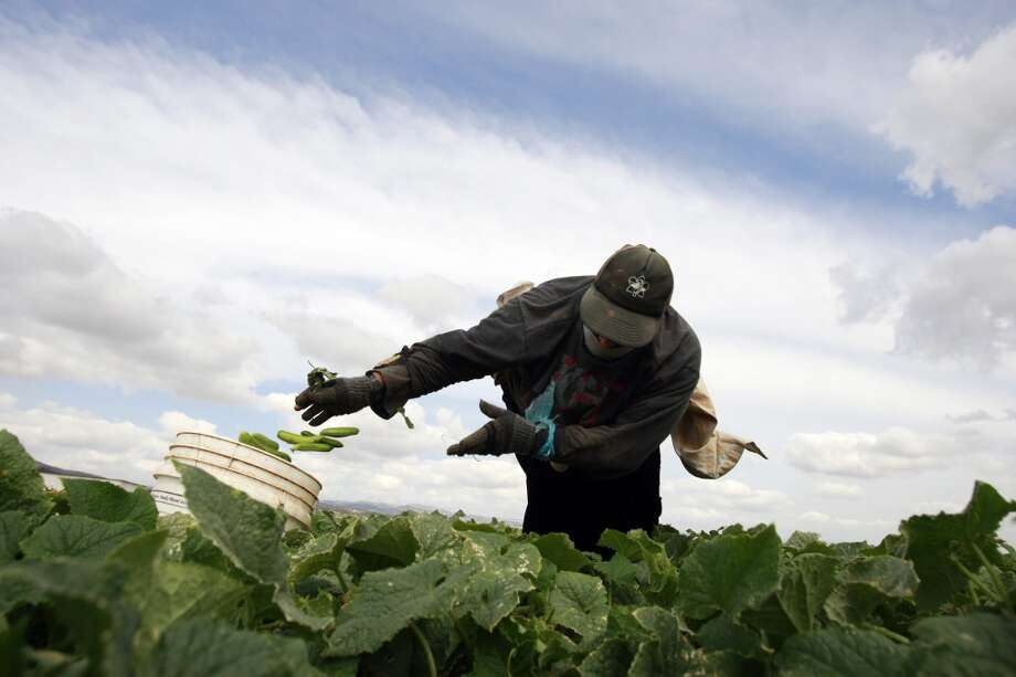 West Bank: A Palestinian farm worker picks cucumbers at a farm near the West Bank city of Jenin, Monday, May 19, 2014. Most of the cucumbers are later sold to Israeli factories where they are processed, pickled and sold in markets in Israel and the West Bank. Photo: Mohammed Ballas, Associated Press