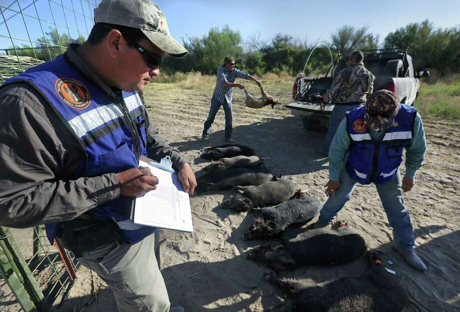 Leonel Duran, left, takes notes on each tagged hog that was trapped and killed on a farm just out side Ojinaga, MX. Wild hogs are destroying farmers crops. Since there is little to no farming across the river in Presidio County, it is believed the hogs are coming from the US in search of food. Tuesday, May 13, 2014. Photo: BOB OWEN, San Antonio Express-News / © 2012 San Antonio Express-News