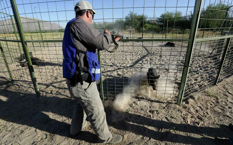 Leonel Duran, an exotic animal control agent for the State of Chihuahua shoots trapped feral hogs as another charges him in vain. Wild hogs are destroying farmers crops just outside Ojinaga, MX. Since there is little to no farming across the river in Presidio County, it is believed the hogs are coming from the US in search of food. Tuesday, May 13, 2014. Photo: BOB OWEN, San Antonio Express-News / © 2012 San Antonio Express-News
