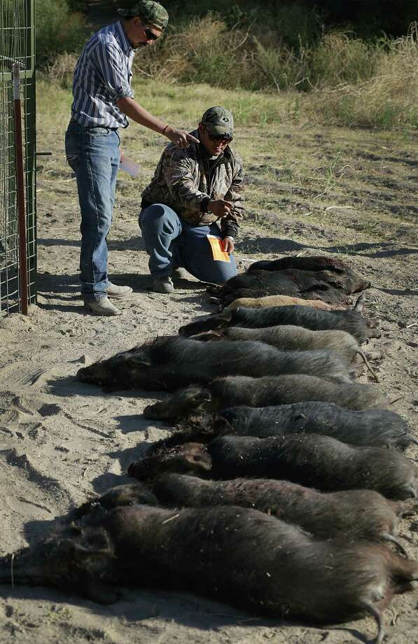 Alejandro  Gonzalez, right, and Jesus Carnero, count and tag the 14 hogs they trapped and killed on a farm just outside Ojinaga, MX.  Tuesday, May 13, 2014. Photo: BOB OWEN, San Antonio Express-News / © 2012 San Antonio Express-News