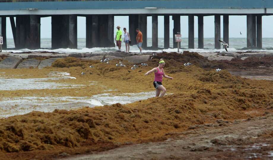 A beach visitor climbs over a mound of seaweed on the beach near 24th Street in Galveston. Masses of seaweed from the Sargasso Sea have washed ashore in recent weeks. Photo: James Nielson / Houston Chronicle / © 2014  Houston Chronicle