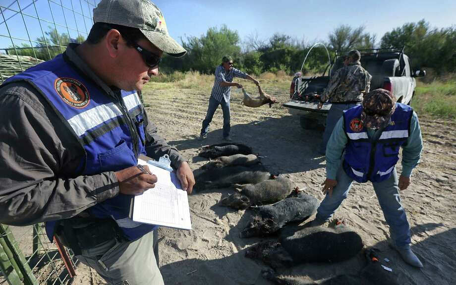 Leonel Duran, an animal control agent for the Mexican state of Chihuahua, takes notes on hogs that were trapped and killed on a farm just outside Ojinaga, where the creatures are destroying crops. Photo: Photos By Bob Owen / San Antonio Express-News / © 2012 San Antonio Express-News