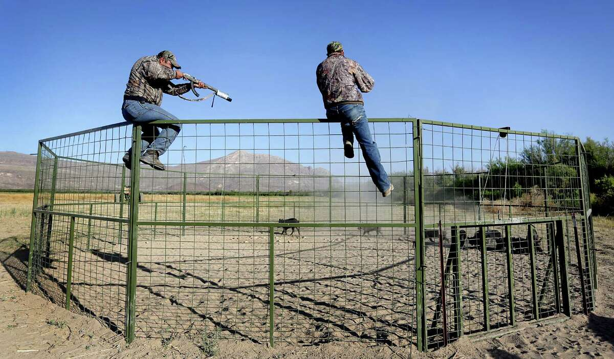 Exotic animal control agents take aim at trapped feral hogs on a ranch just outside Ojinaga, MX. Tuesday, May 13, 2014.