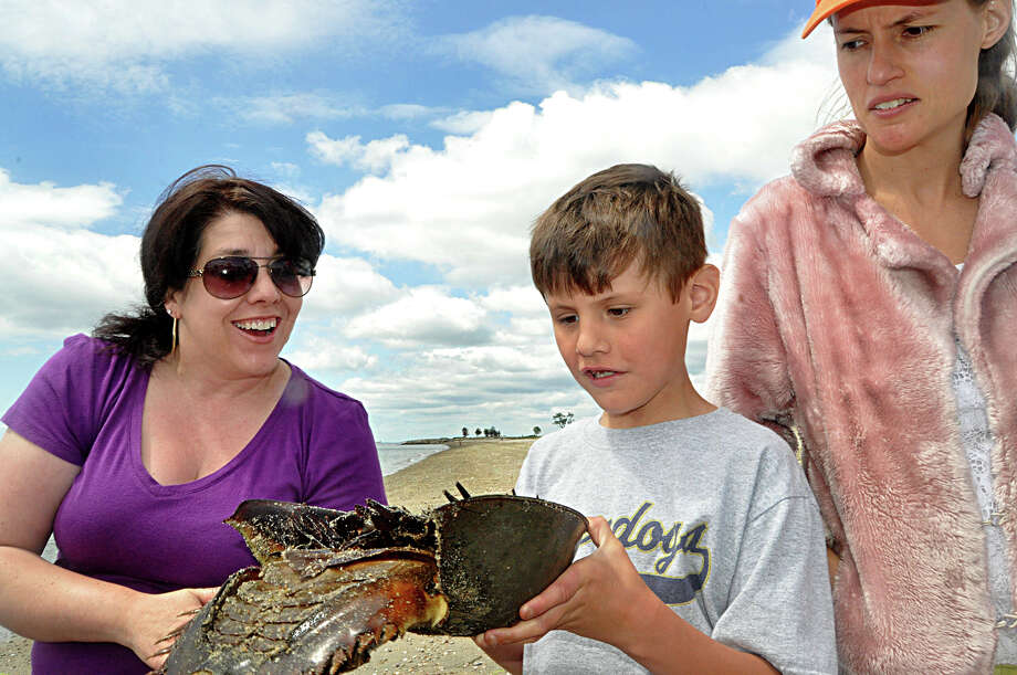 Vicki Boudreau of Ansonia, Justin Juliano, 8, and his mother Ginger Juliano of Westport examine a horseshoe crab Saturday morning at a Sherwood Island State Park during a horseshoe crab tagging workshop. Photo: Nancy Guenther Chapman / Westport News