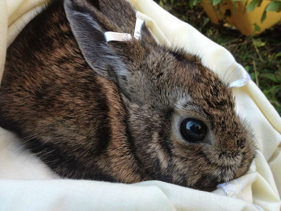 A New England cottontail is processed Putnam County. (U.S. Fish and Wildlife Service, Northeast Region)
