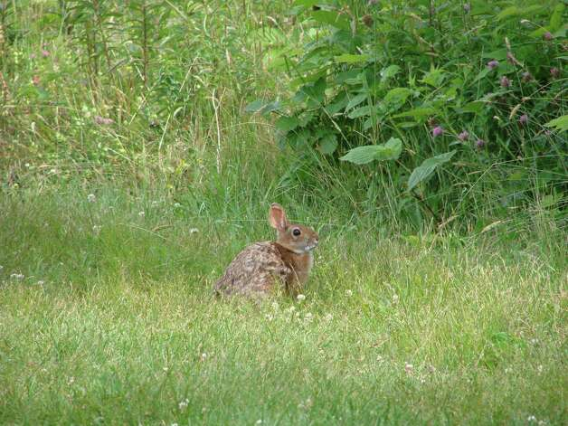 Helping find home for the new england cottontail times union for Maine fish wildlife
