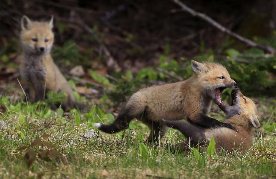 Red fox kits play fight in a field at the edge of the woods in Parkman, Maine, Friday, May 23, 2014. Photo: Robert F. Bukaty, Associated Press