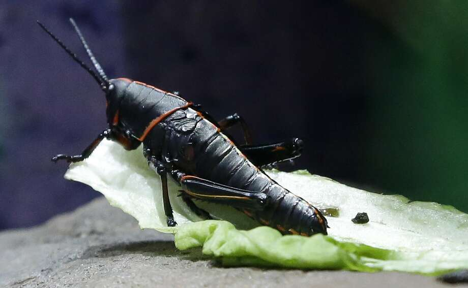 It's bad table manners to go to the bathroom in your salad:A lubber grasshopper gnaws a lettuce leaf in the Houston Zoo's new bug house. Photo: Pat Sullivan, Associated Press