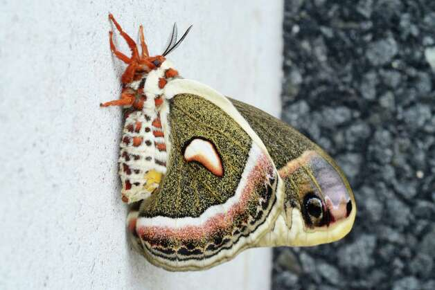 A female cecropia moth rests Friday afternoon, May 23, 2014, on the side of the Times Union Building in Colonie, N.Y. According to the state entomologist, it is our largest moth and it belongs to the family of Giant Silk Moths (Saturniidae).  It is native to New York, where its larva feed on a variety of trees and shrubs. (Will Waldron/Times Union) Photo: WW, Albany Times Union