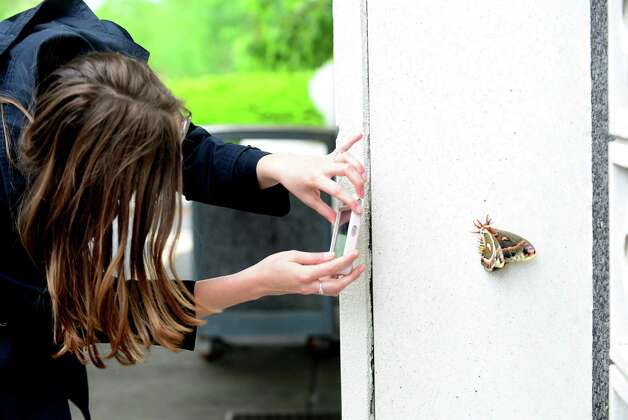 Editorial intern Kate Seckinger takes a picture of a female cecropia moth as it rests Friday afternoon, May 23, 2014, on the side of the Times Union Building in Colonie, N.Y. According to the state entomologist, it is our largest moth and it belongs to the family of Giant Silk Moths (Saturniidae).  It is native to New York where its larva feed on a variety of trees and shrubs. (Will Waldron/Times Union) Photo: WW, Albany Times Union