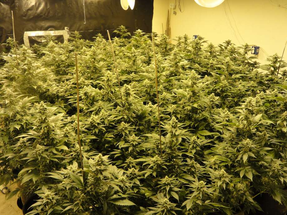 March 31, 2014: Marijuana plants with an estimated street value of $1.4 million were found at an undisclosed Harris County location. The Harris County Sheriff's Office said it was a tip from the agency's smartphone app that led them to the bust. Photo: Harris County Sheriff's Office