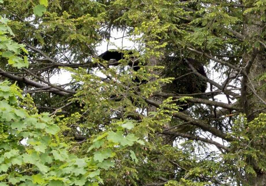 A bear is hanging out in a tree behind 44 Rose Ct. in Albany. The bear was hit with tranquilizer darts and remains between 60 and 70 feet above the ground. (Skip Dickstein / Times Union)