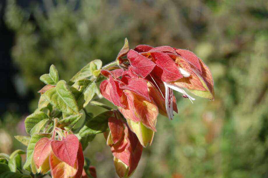 Justicia brandegeeana gets the name shrimp plant because its bracts can resemble the crustacean. Photo: Earl Nickel