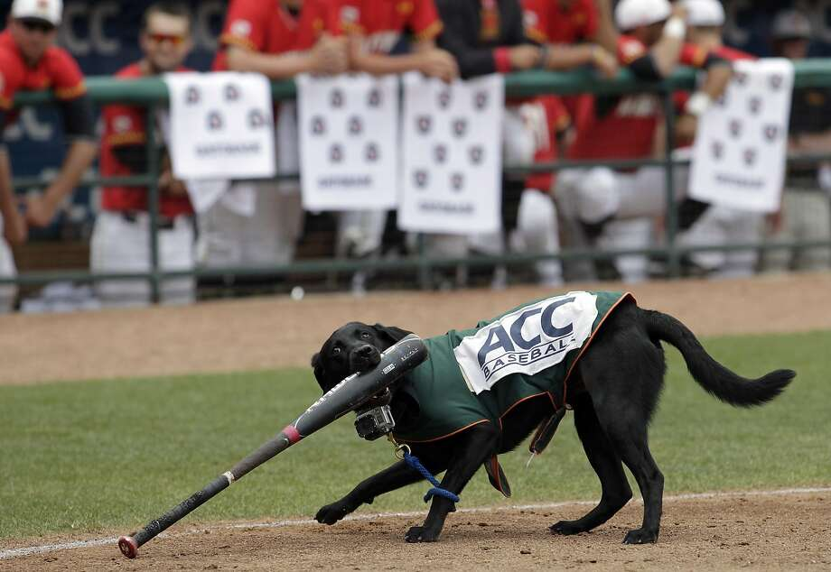 No, girl, not the Easton. Bring me the Louisville Slugger: LouLou the bat dog wrestles a bat back to the dugout during the ACC championship game between Maryland and Georgia Tech in Greensboro, N.C. Photo: Bob Leverone, Associated Press